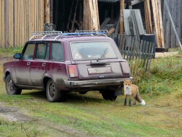 лиса у автомобиля