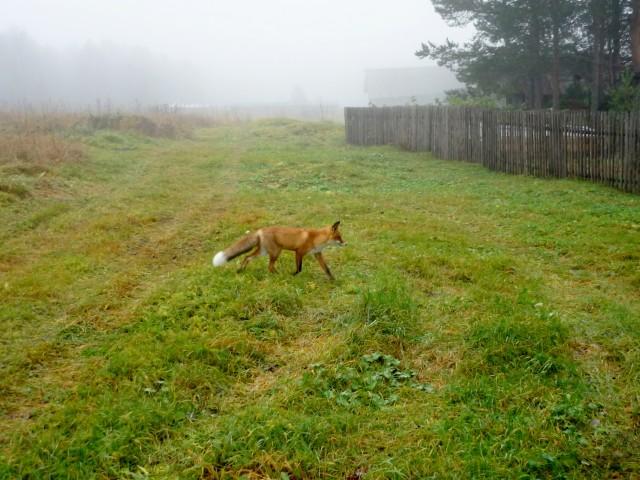 лиса в деревне